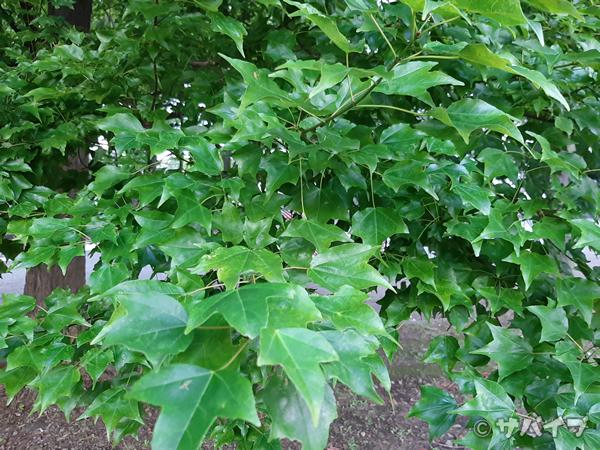 Galaxy A7で葉を撮影